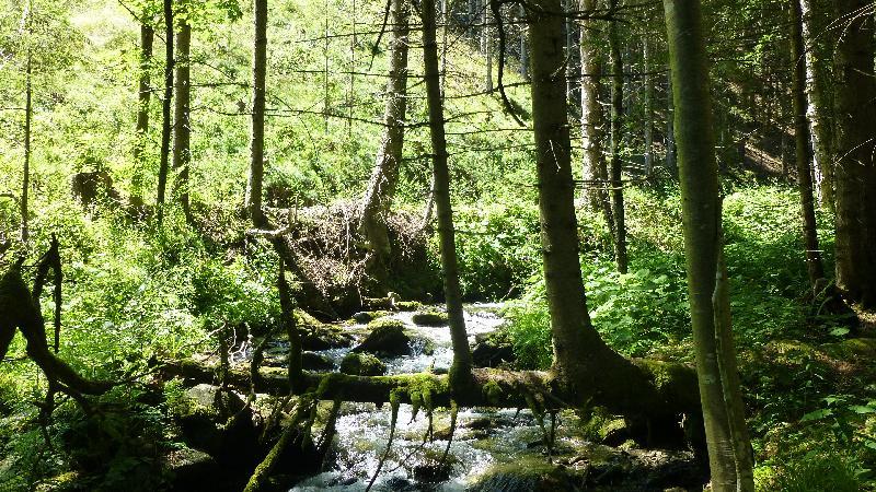 Wandern Natur Wald Mariensee Wildwasser Pöstlingbach Orgelbaum